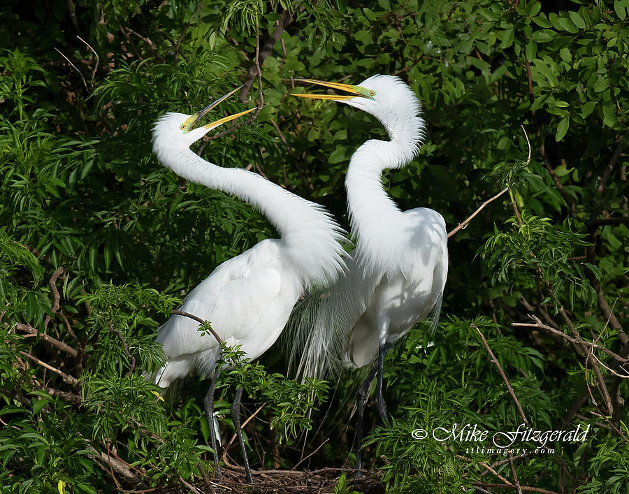 Great White Egret Couple by Mike Fitzgerald