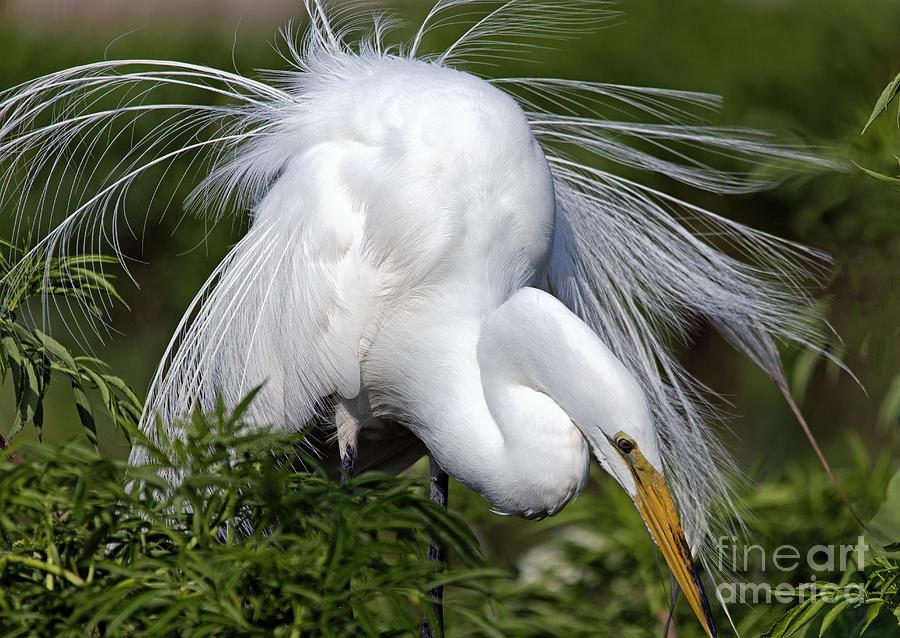 Great White Egret Displaying Plumage Photograph