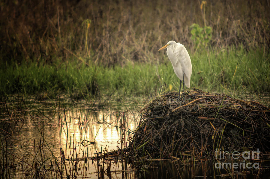 Egret Photograph - Great white egret by Gaby Swanson