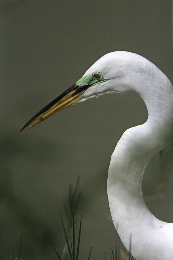 Great White Egret in Breeding Plumage Headshot by John Harmon