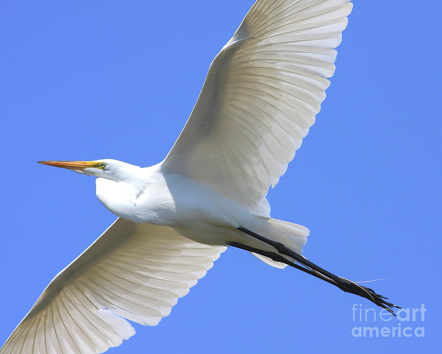 Bird Migration Photograph - Great White Egret In Flight . 40d6850 by Wingsdomain Art and Photography