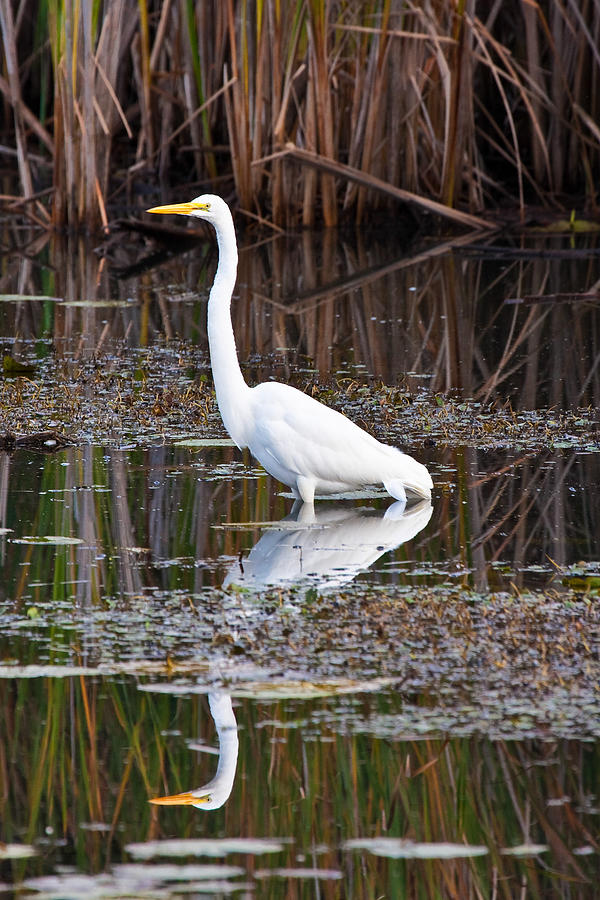 Michigan Photograph - Great White Egret by James Marvin Phelps