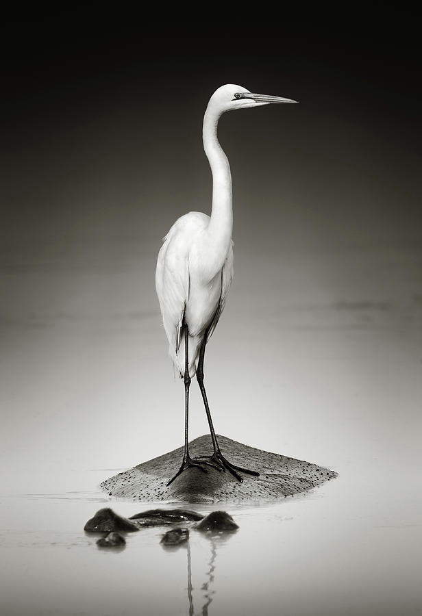 Great White Egret On Hippo Photograph