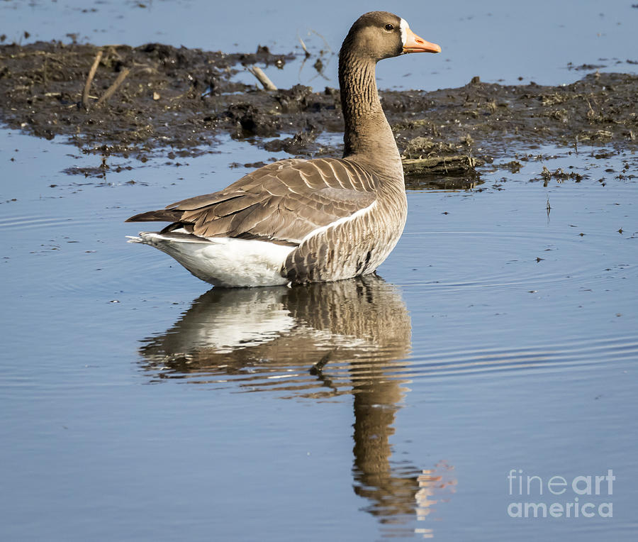 Canon Photograph - Great White Fronted Goose by Ricky L Jones