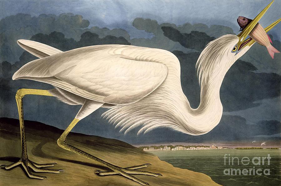 Great White Heron Drawing - Great White Heron by John James Audubon