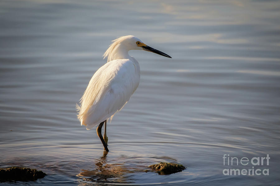 Great White Heron by Richard Smith
