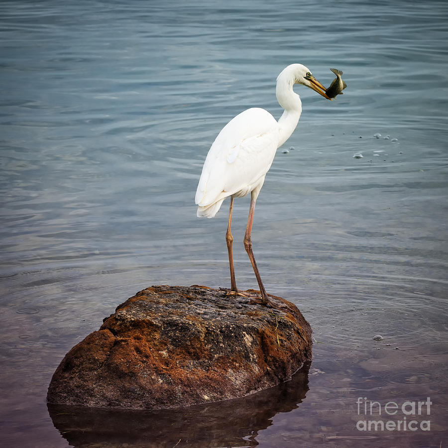 Great White Heron Photograph - Great White Heron With Fish by Elena Elisseeva