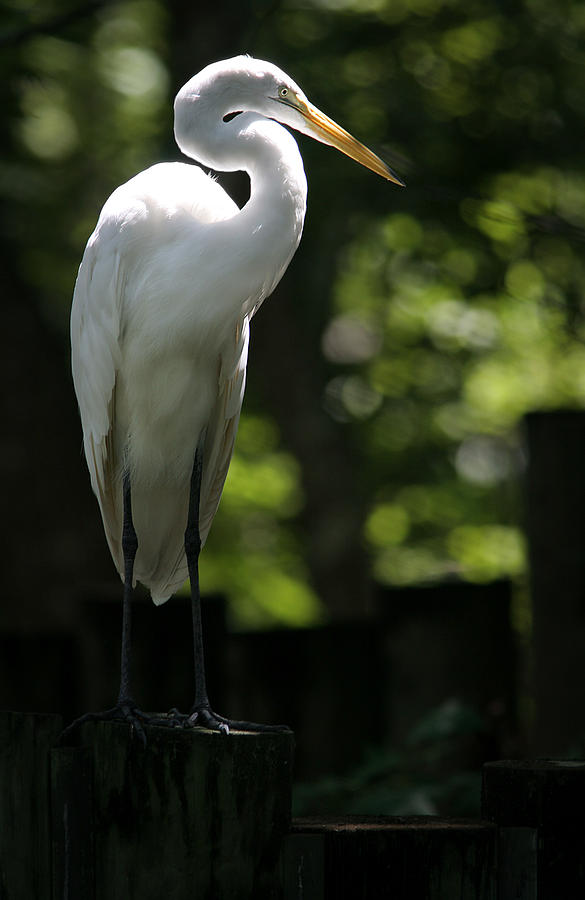 Great White Heron Photograph - Great White by Patrick Ziegler