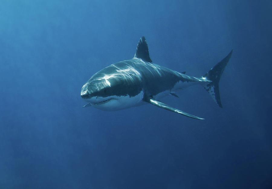 Great White Shark Photograph by John White Photos  Great White Shark Painting