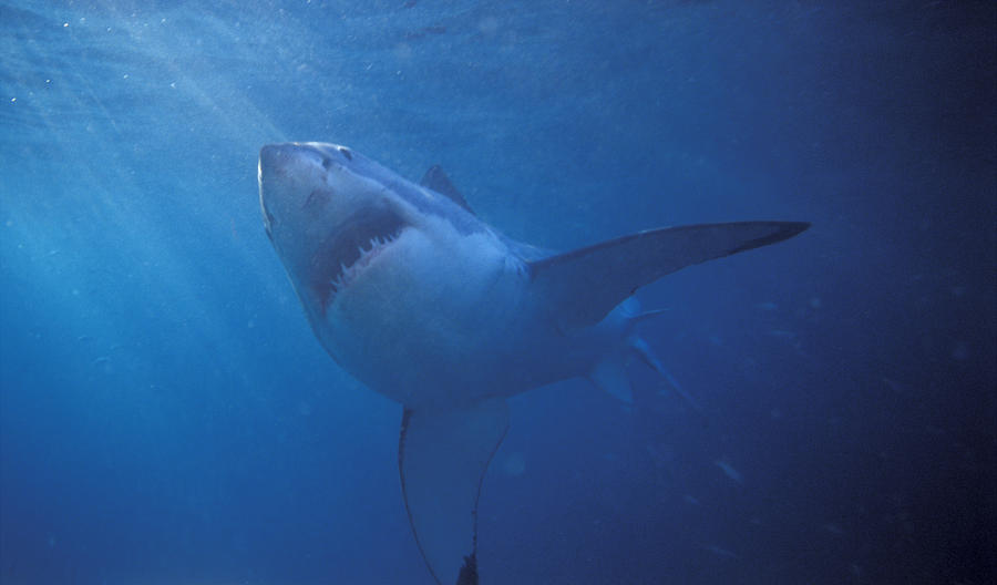 Sea Life Photograph - Great White Shark With Light Rays by James Forte