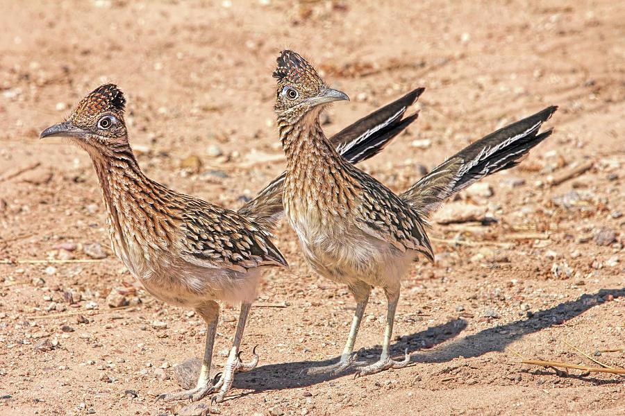Greater Roadrunner Photograph - Greater Roadrunner Bird by Jennie Marie Schell