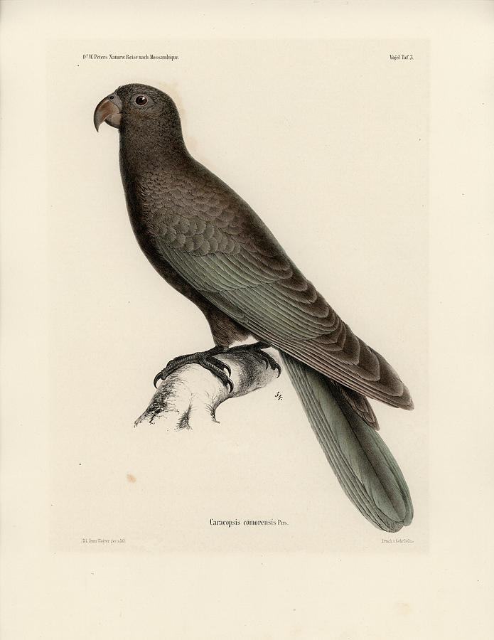 Greater Vasa Parrot by J D L Franz Wagner