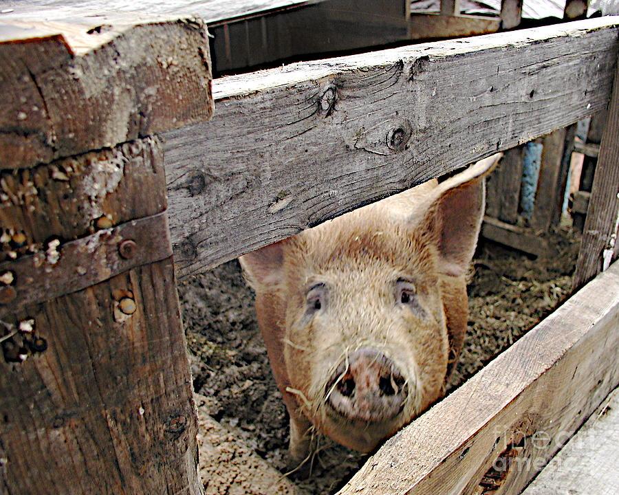 Pork Photograph - Green Acres by Faith Harron Boudreau
