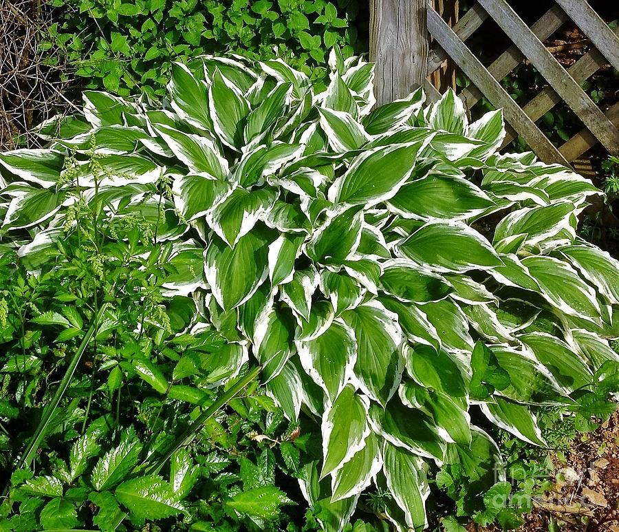 Green And White Hosta Photograph By Debra Lynch