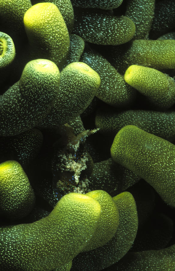Sea Life Photograph - Green Anemone Column Aggregation by James Forte