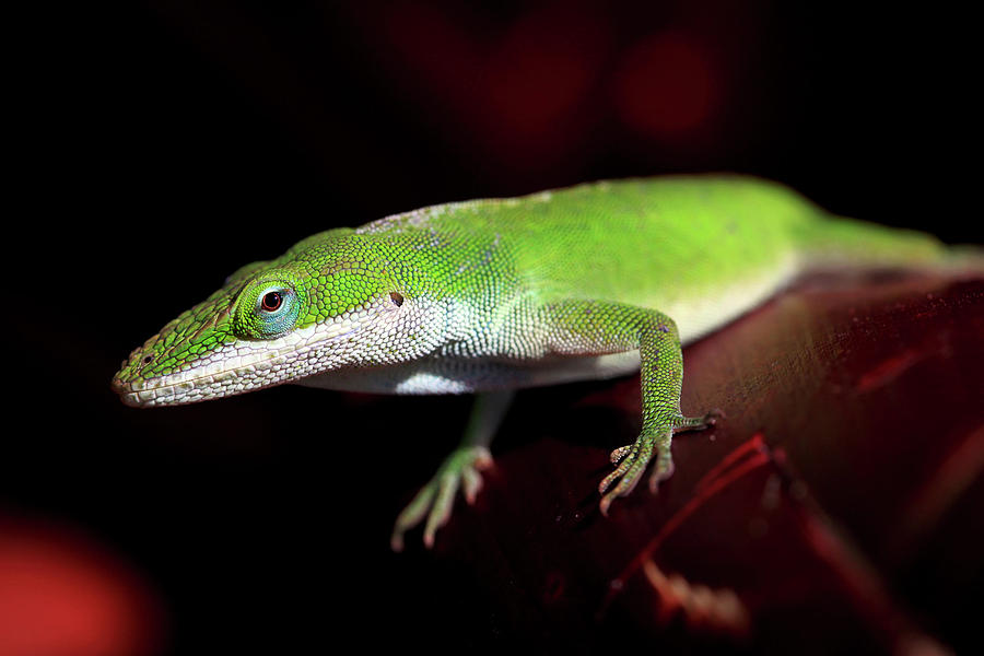 Green Anole Lizard Photograph by Dan Pearce