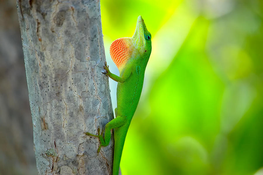 Lizard Photograph - Green Anole by Rich Leighton