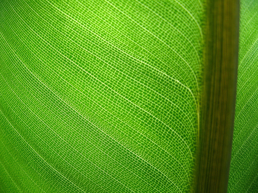 Leaf Photograph - Green by Ashley Cauvel