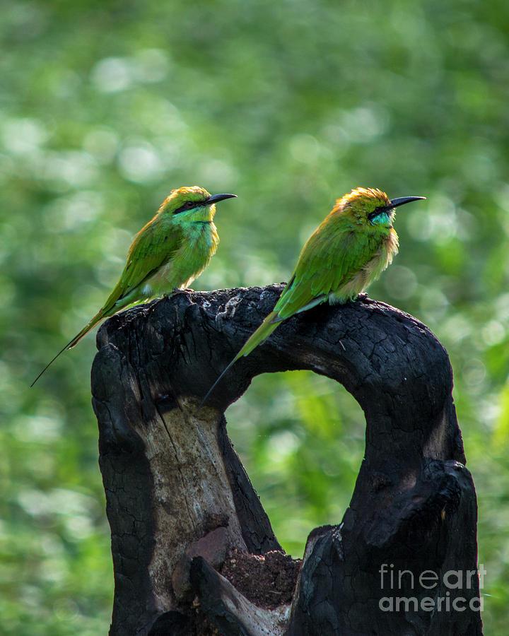 Green Bee Eater Pair Photograph