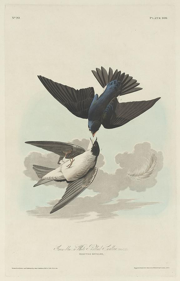 Audubon Drawing - Green-Blue or White-Bellied Swallow by Dreyer Wildlife Print Collections