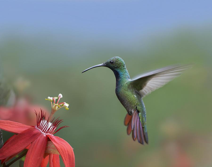 00176926 Photograph - Green Breasted Mango Hummingbird Male by Tim Fitzharris