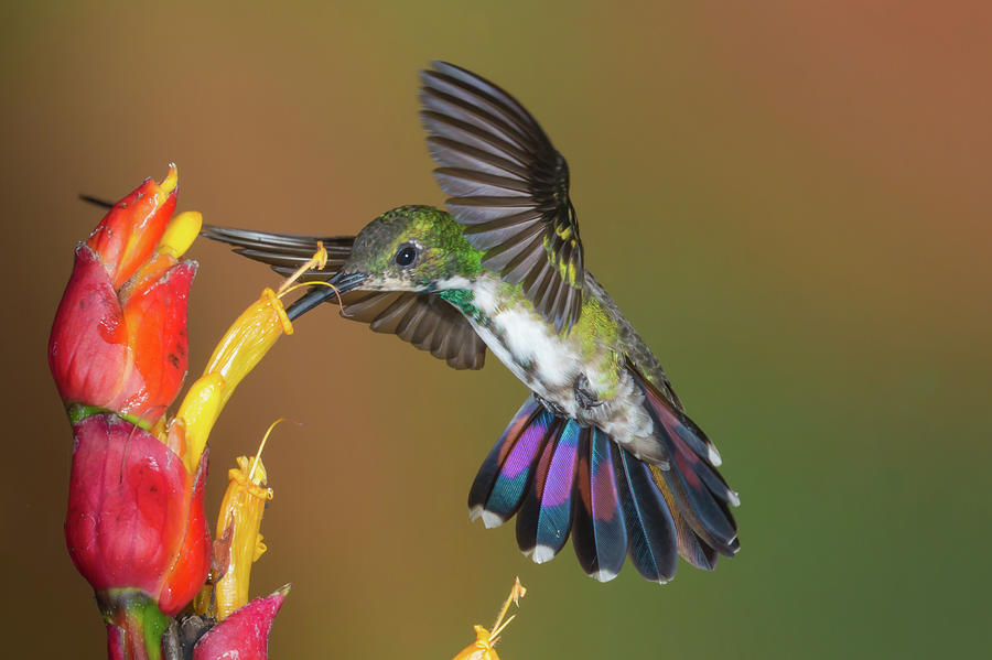 Green-breasted Mango by Jim Frandeen