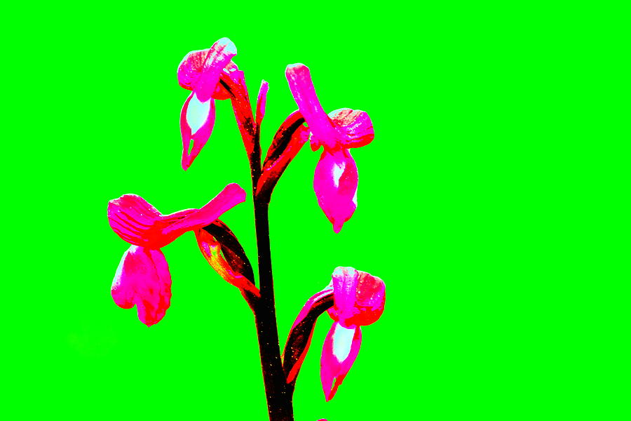 Green Champagne Orchid Photograph