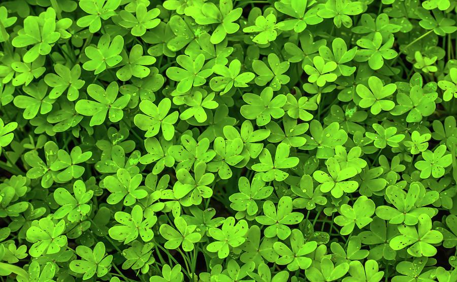 Green Clovers by Richard Cheski