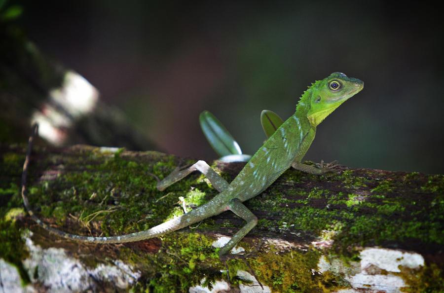Lizard Photograph - Green Crested Lizard Sarawak Malaysia  by Jamie Cain
