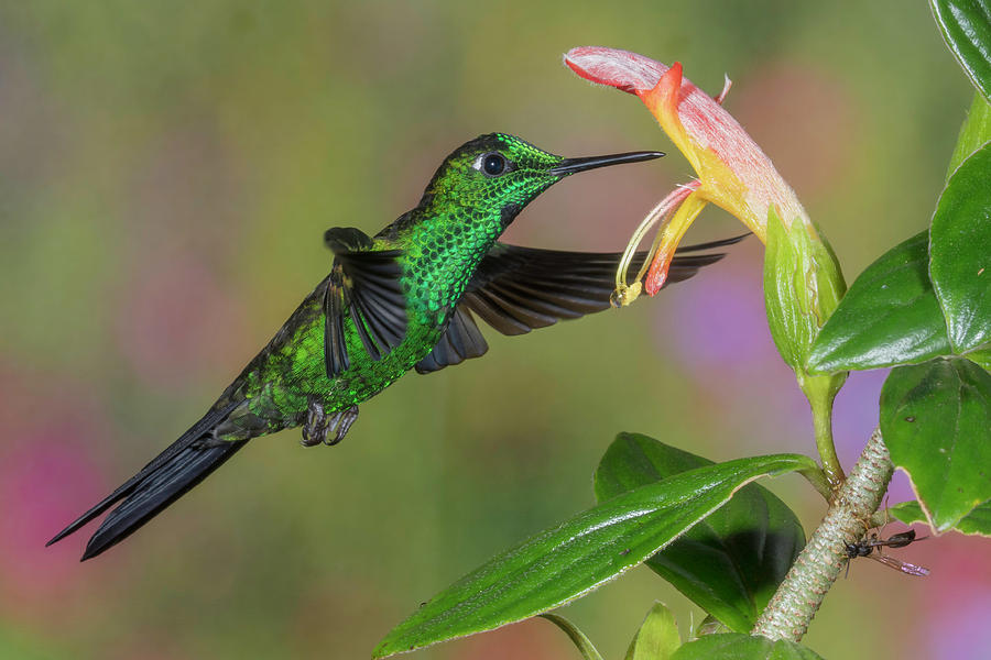 Green-crowned Brilliant Hummingbird by Jim Frandeen