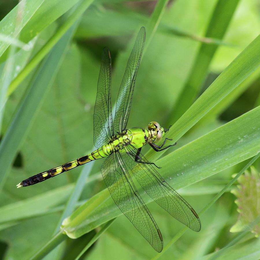 Green Darner Dragonfly by Kenneth F Konjevich