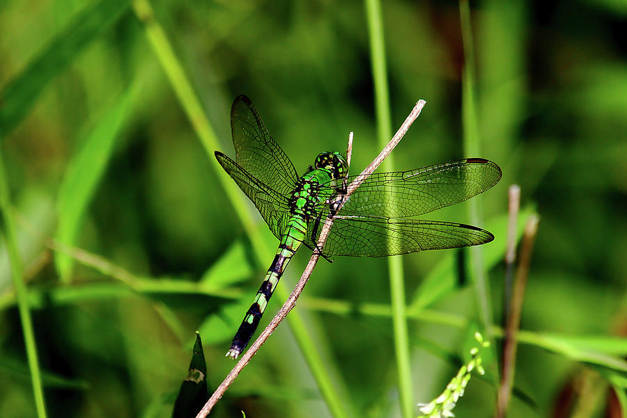 Green Dragonfly Photograph - Green Dragonfly by Brad Chambers