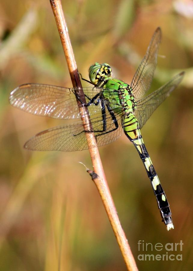 Dragonfly Photograph - Green Dragonfly Closeup by Carol Groenen