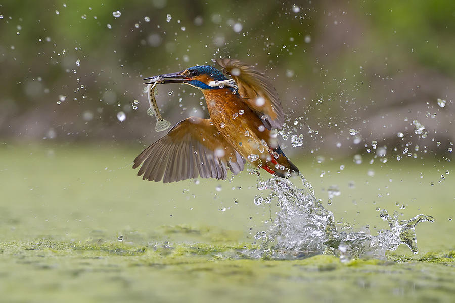 Nature Photograph - Green Fishing by Marco Redaelli