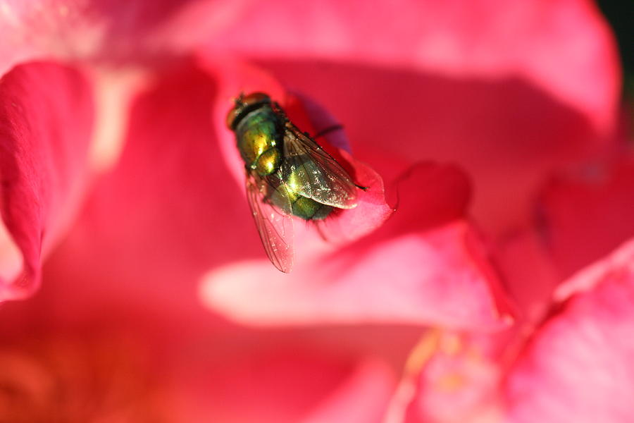Fly Photograph - Green Fly by Kerry Reed