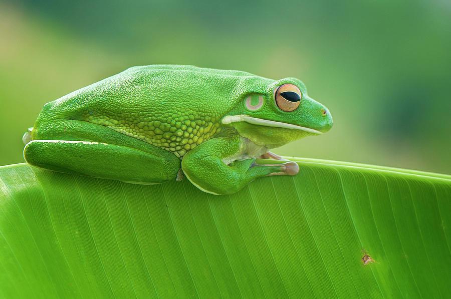 Frog Photograph - Green Frog Whitelips by Riza Arif Pratama
