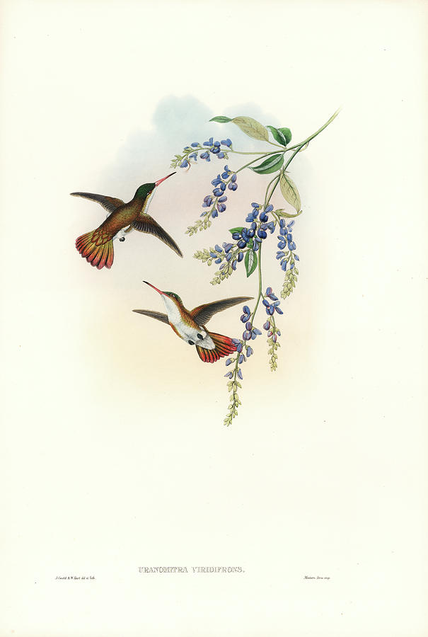 Green-fronted Hummingbird Amazilia viridifrons by John and Elizabeth Gould
