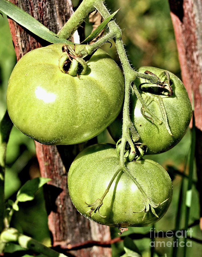 Green Garden Tomatoes On The Vine by Smilin Eyes  Treasures