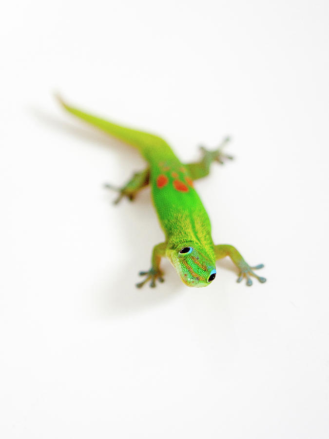 Green Gecko by Denise Bird