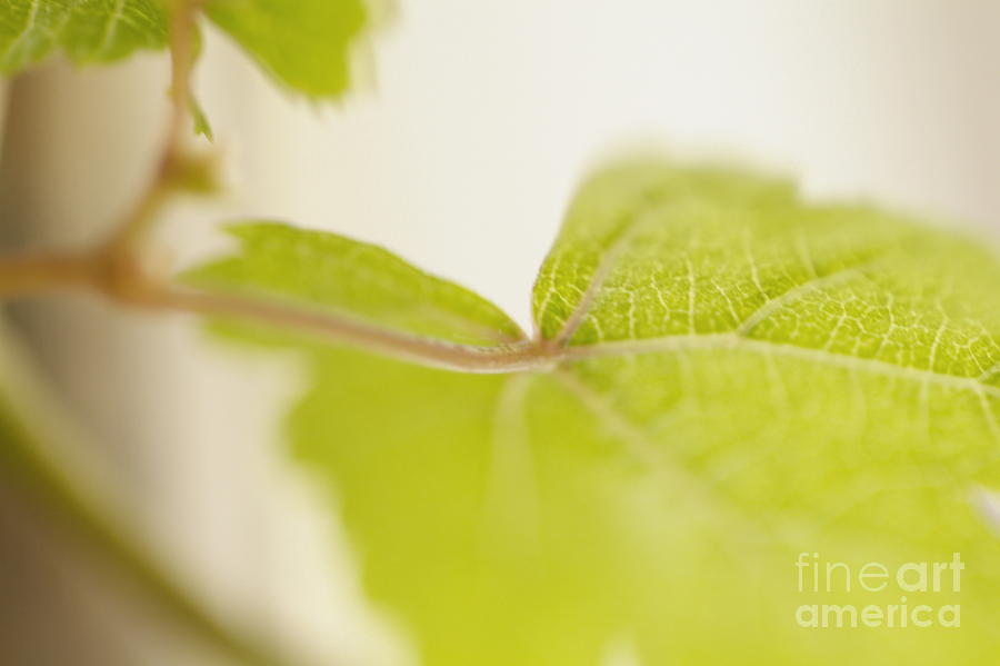 Grapevine Photograph - Green Grapevine Leaf by Sami Sarkis