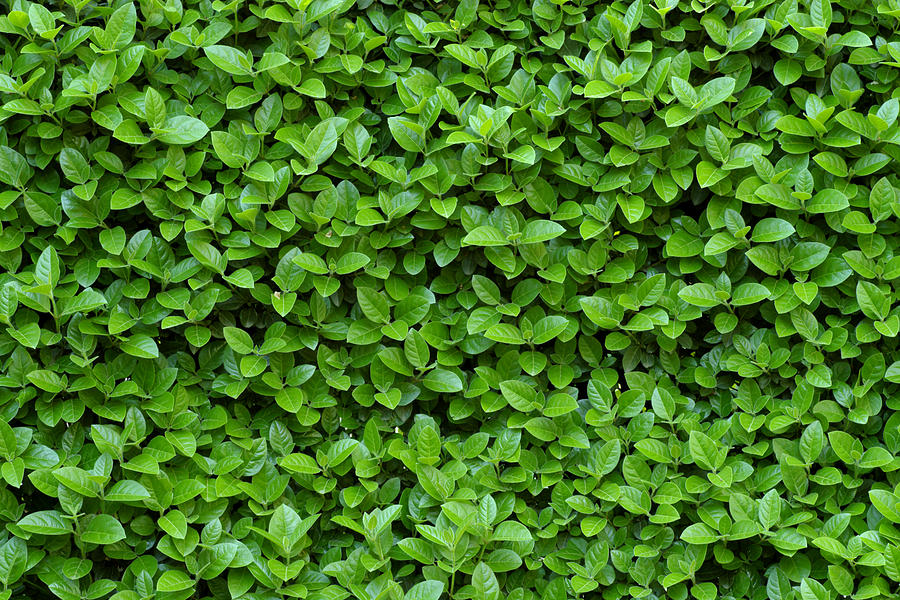 Hedge Photograph - Green Hedge by Frank Tschakert