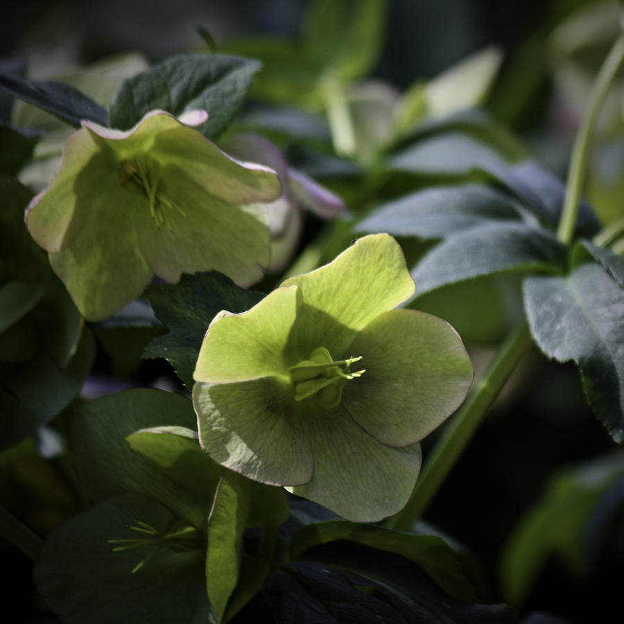 Hellebore Photograph - Green Hellebore Squared by Teresa Mucha