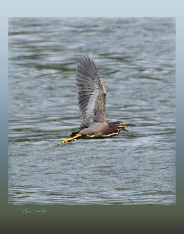 Green Heron 11x14 by Chris Busch