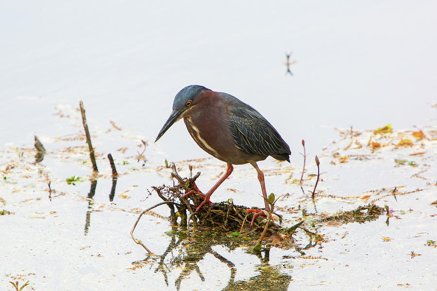 Green Heron Photograph