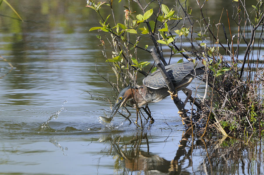 Bird Photograph - Green Heron And Persuit by Philippe Francis