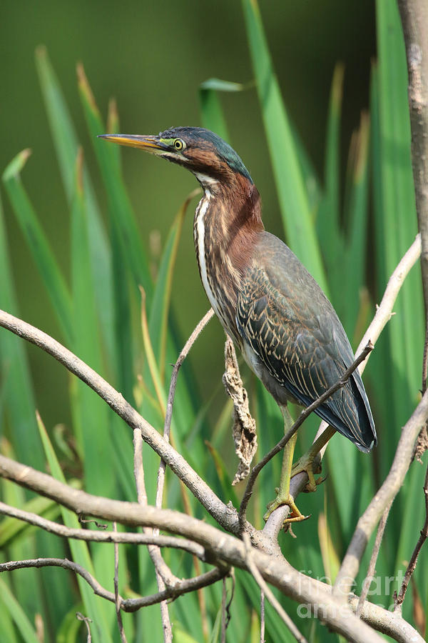 Green Heron Photograph - Green Heron At The Governors Palace Gardens by Rachel Morrison