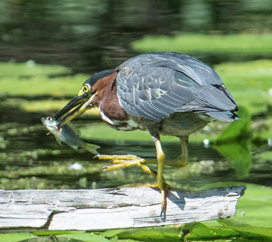 Green Heron Lunch by Michael Hall