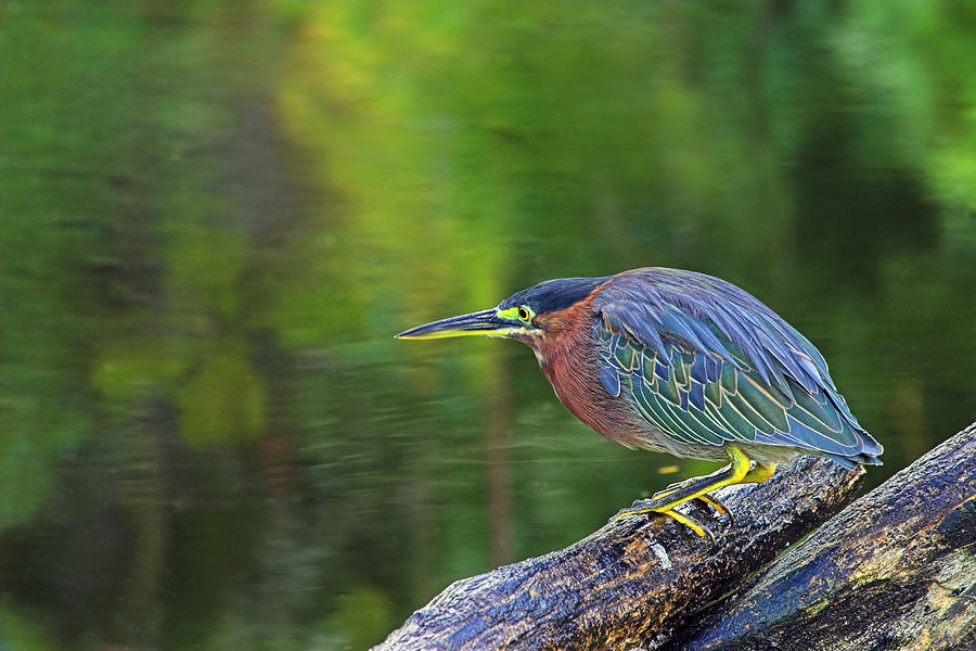 Green Heron- St Lucia by Chester Williams