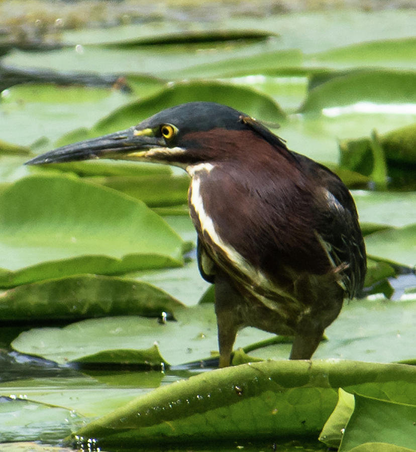 Green Heron with Damselfly by Michael Hall