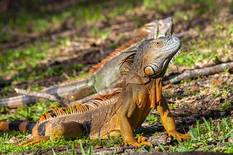Green Iguana by ED GLEICHMAN